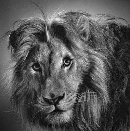 雄狮和雌狮素描