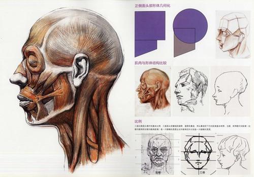 头骨肌肉与素描头关系的解释