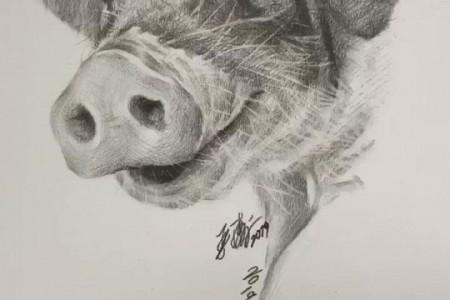 素描猪图片视频 猪的画法步骤 2019猪年猪事顺利