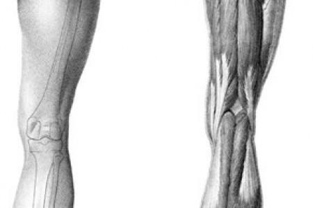 人体腿部肌肉与骨骼素描关系图