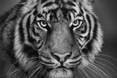 画一只老虎