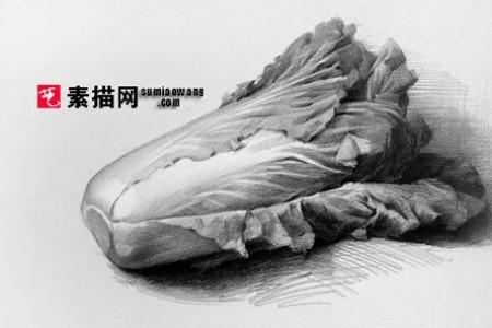 卷心菜草图