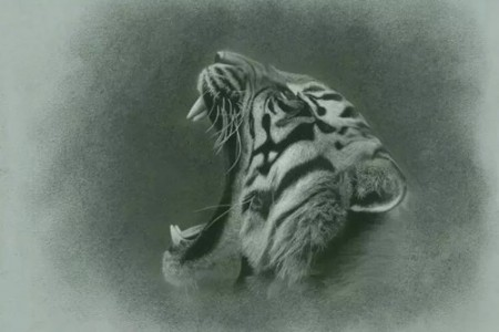 一张张着嘴咆哮的老虎素描。