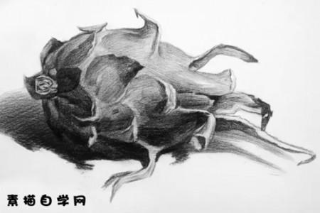火龙果素描图