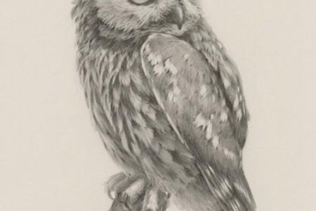 动物素描:猫头鹰