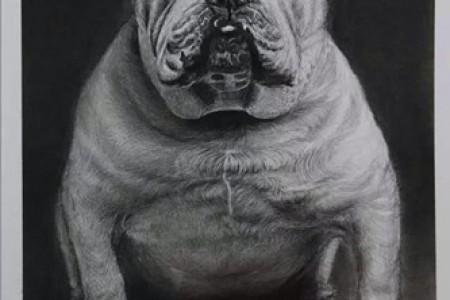 动物素描:牛头犬手绘铅笔画