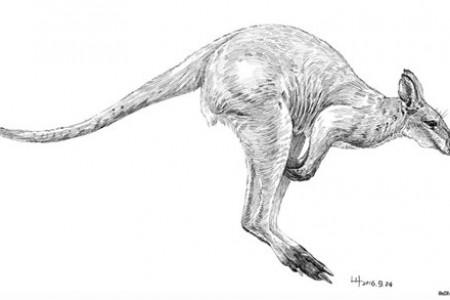 钢笔动物素描:小鼻子大袋鼠中最大的袋鼠