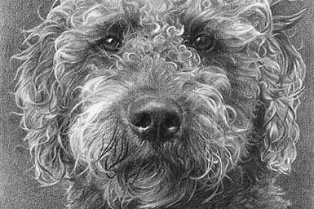 泰迪狮子狗素描可爱卷毛狗素描手绘作品