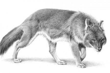动物:描绘豺狼的画