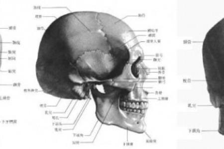素描学习材料:最完整的颅骨分析名称结构图