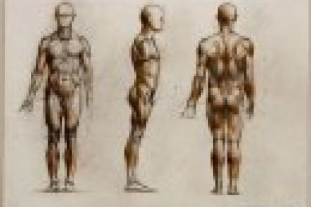 学习人体素描前应先看人体结构和肌肉的材料
